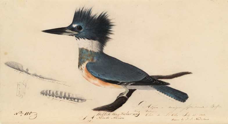 Houghton_MS_Am_21_(50)_-_John_James_Audubon,_belted_kingfisher